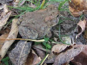 <i>Anaxyrus americanus</i> (American Toad)