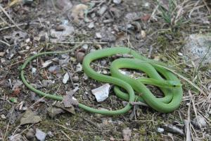 <i>Opheodrys aestivus</i> (Rough Greensnake)