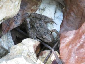 <i>Acris blanchardi</i> Blanchard's Cricket Frog
