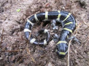 <i>Ambystoma annulatum</i> (Ringed Salamander)