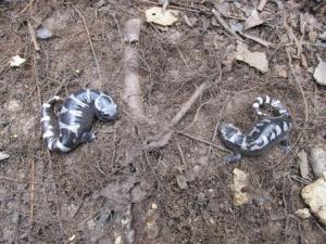<i>Ambystoma opacum</i> (Marbled Salamander)