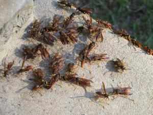 <i>Polestes</i> swarm
