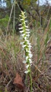 <i>Spiranthes magnicamporum</i> (Great Plains Lady's Tresses)