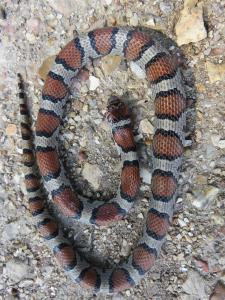 <i>Lampropeltis triangulum</i> (Red Milksnake)