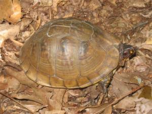 <i>Terrapene carolina</i> (Three-toed Box Turtle)