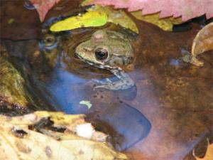 <i>Rana clamitans</i> (Green Frog)