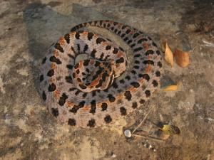 <i>Sistrurus miliarius</i> (Pigmy Rattlesnake)