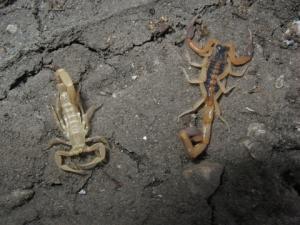 Juvenile scorpion and freshly shed exoskeleton