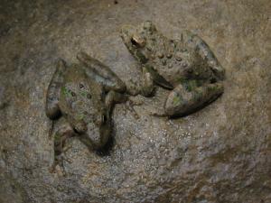 <i>Acris crepitans</i> (Cricket Frog)
