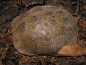 <i>Terrapene carolina</i> (Eastern Box Turtle)