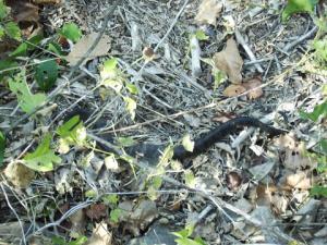 <i>Agkistrodon piscivorus</i> (Cottonmouth)