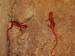 <i>Eurycea lucifuga</i> (Cave Salamander)