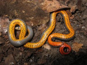 <i>Diadophis punctatus</i> (Ring-necked Snake)