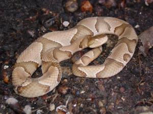 <i>Agkistrodon contortrix</i> (Copperhead)