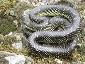 <i>Lampropeltis getula</i> (Speckled Kingsnake)