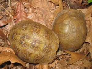 <i>Terrapene carolina</i> (Three-toed Box Turtle)