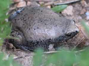 <i>Gastrophryne carolinensis</i> (Eastern Narrow-mouthed Toad)