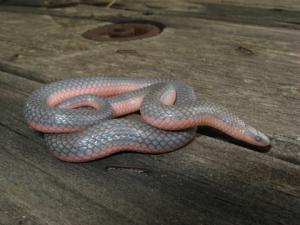<i>Carphophis vermis</i> (Western Worm Snake)