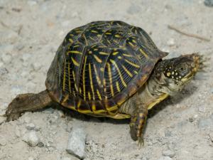 <i>Terrapene ornata</i> (Ornate Box Turtle)