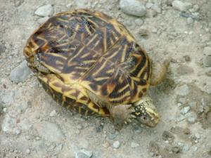 <i>Terrapene ornata</i> (Ornate Box Turtle) plastron