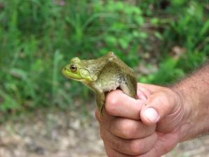 <i>Rana catesbeiana</i> (Bullfrog)