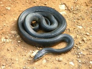 <i>Elaphe obsoleta</i> (Western Rat Snake)