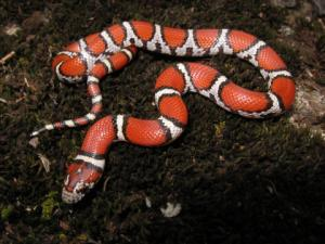 <i>Lampropeltis triangulum</i> (Milk Snake)