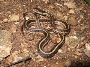 <i>Thamnophis sirtalis</i> (Common Garter Snake)