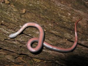 <i>Storeria occipitomaculata</i> (Redbelly Snake)