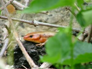 <i>Eumeces laticeps</i> (Broadhead Skink)