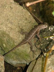 <i>Sceloporus consobrinus</i> (Fence Lizard)