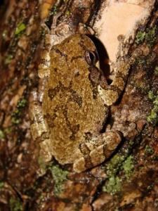<i>Hyla chrysoscelis</i> (Cope's Gray Treefrog)