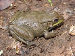 <i>Lithobates clamitans</i> (Green Frog)