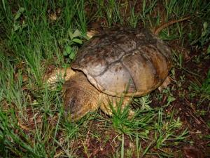 <i>Chelyrda serpentina</i> (Eastern Snapping Turtle)