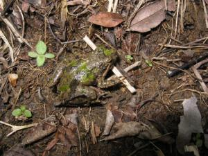 <i>Acris crepitans</i> (Northern Cricket Frog)