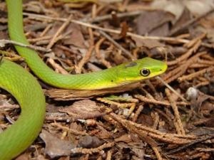 <i>Opheodrys aestivus</i> (Northern Rough Greensnake)