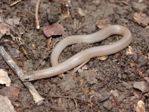 <i>Virginia valeriae</i> (Western Smooth Earthsnake)