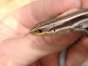 <i>Eumeces fasciatus</i> (Common Five-lined Skink)