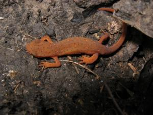 <i>Notophthalmus viridescens</i> (Central Newt)