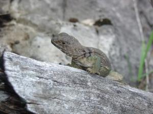 <i>Crotaphytus collaris</i> (Eastern Collared Lizard)