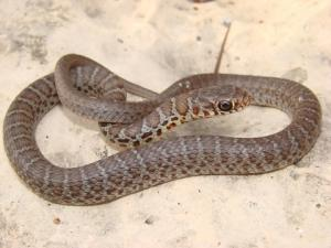 <i>Coluber constrictor</i> (North American Racer)