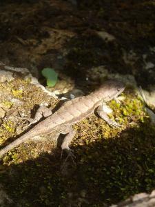 <i>Sceloporus consobrinus</i> (Prairie Lizard)