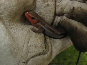 <i>Plestiodon fasciatus</i> (Common Five-lined Skink)
