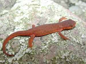 <i>Notophthalmus viridescens</i> (Central Newt)