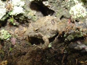 <i>Acris crepitans</i> (Northern Cricket Frog)