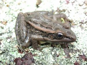<i>Lithobates palustris</i> (Pickerel Frog)