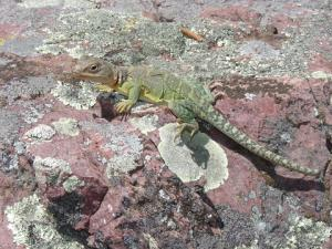 <i>Crotaphytus collaris</i> (Eastern Collared Lizard)
