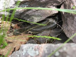 <i>Lampropeltis getula</i> (Speckled Kingsnake) <i>in situ</i>
