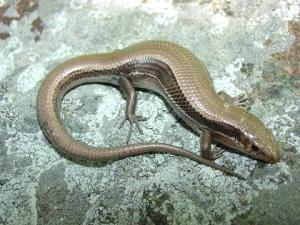 <i>Plestiodon anthracinus</i> (Southern Coal Skink)