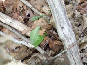 <i>Pseudacris crucifer</i> (Spring Peeper)
